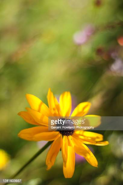 bright yellow flower - love magazine stock pictures, royalty-free photos & images