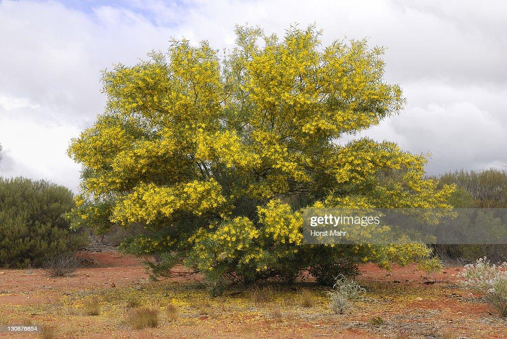 Bright yellow flowering wattle tree geraldton western australia bright yellow flowering wattle tree acacia geraldton western australia australia mightylinksfo