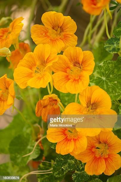 bright yellow flowers of nasturtium - nasturtium stock pictures, royalty-free photos & images