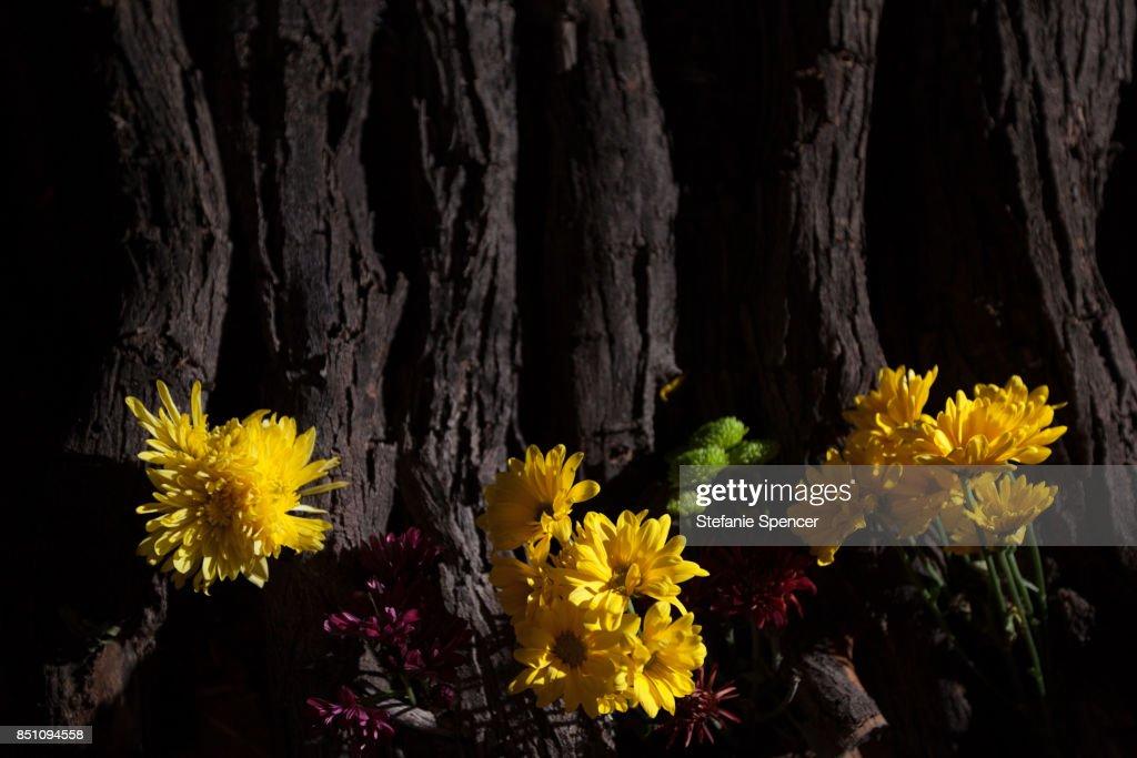 Bright yellow flowers on a dark natural texture wood bark background bright yellow flowers on a dark natural texture wood bark background stock photo mightylinksfo