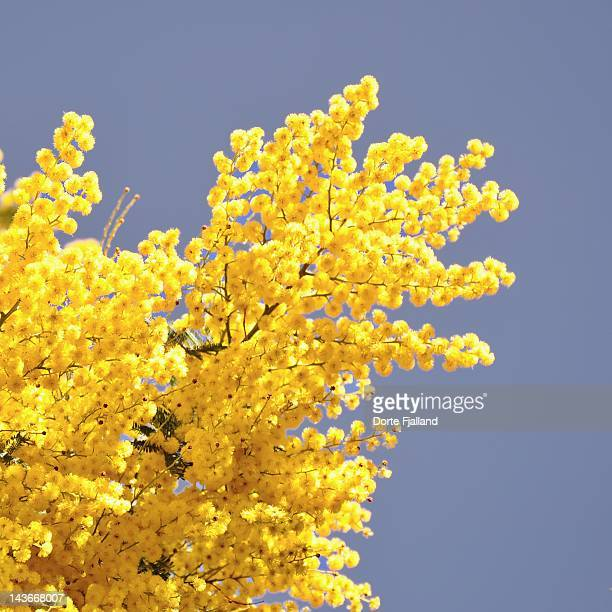 bright yellow mimosa again blue sky - dorte fjalland imagens e fotografias de stock