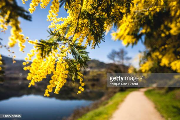 bright yellow mimosa flowers in spain - mimosa stock pictures, royalty-free photos & images