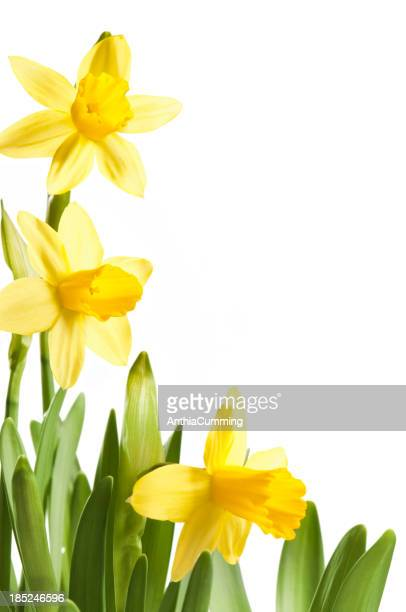 Bright yellow spring daffodils frame empty copy space