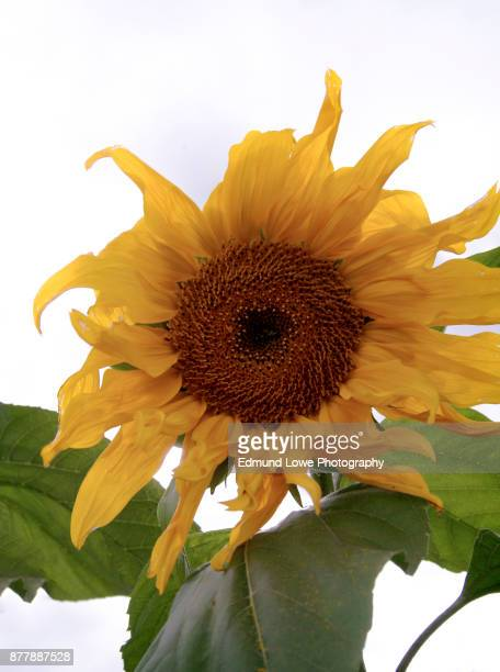 Bright Yellow Sunflower with Green Foliage