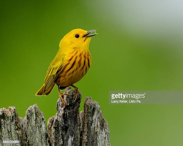 bright yellow warbler - yellow perch stock photos and pictures