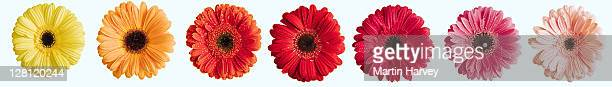 Brightly colored Barberton Daisies, Gerbera jamesonii, on white background. Indigenous to South Africa, the Barberton Daisy can be found in many varieties. Digital Composite.