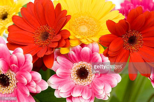 Brightly Colored Gerbera Daisies