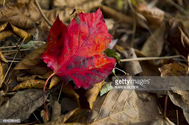 A brightly colored leaf in full fall color October 24 2015 along Skyline drive in Shenandoah National Park in Virginia Thousands of visitors...