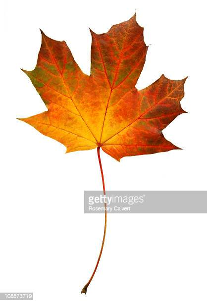 Brightly coloured autumnal Norwegian maple leaf.