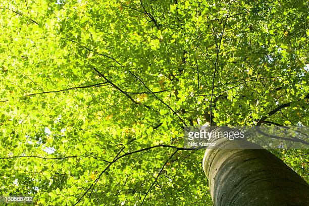 Brightly lit canopy of a Beech (Fagus), Wohldorf Forest, Hamburg, Germany, Europe