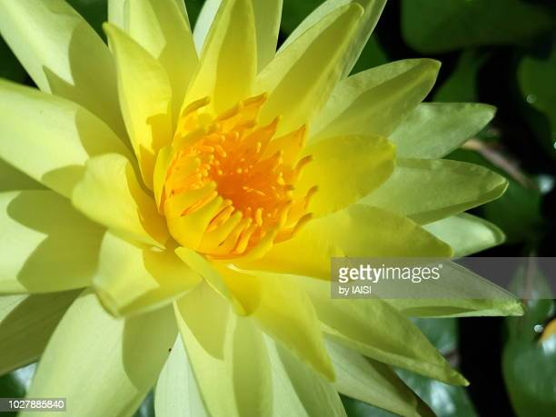 Brightness of the yellow lotus water lily