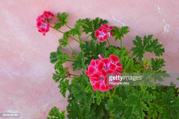 brillant red geranium hybrid against pink wall - geranium stock pictures, royalty-free photos & images