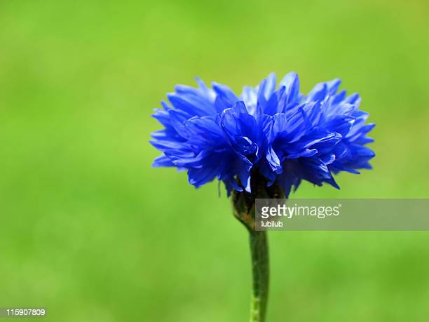 Brilliant Blue cornflower on green.
