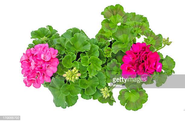 brilliant geranium with clipping path - geranium stock pictures, royalty-free photos & images