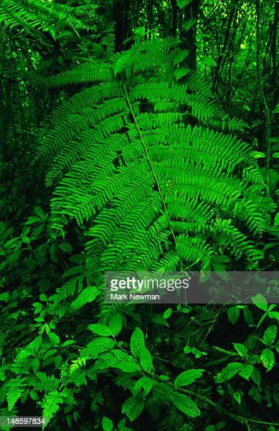 Brilliant green fern fronds in a rainforest near the Braulio Carrillo National Park.