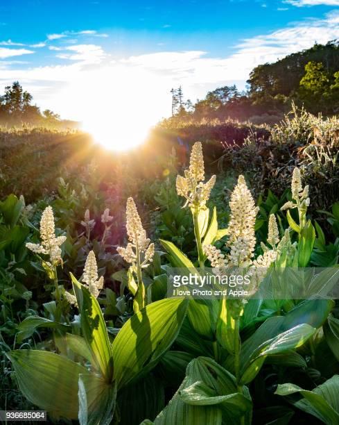 brilliant shiny morning - バイケイソウ ストックフォトと画像