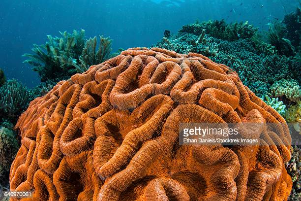 a brilliantly colored coral colony grows on a healthy reef. - brain coral foto e immagini stock