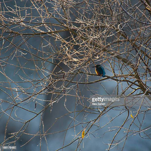 a brilliantly hued kingfisher sits on a frost covered branch. - alex saberi stock pictures, royalty-free photos & images