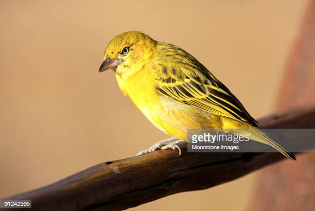 Brimstone Canary in Kruger Park, South Africa