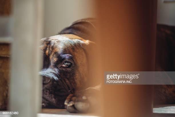 brindle boxer portrait - boxer dog stock pictures, royalty-free photos & images
