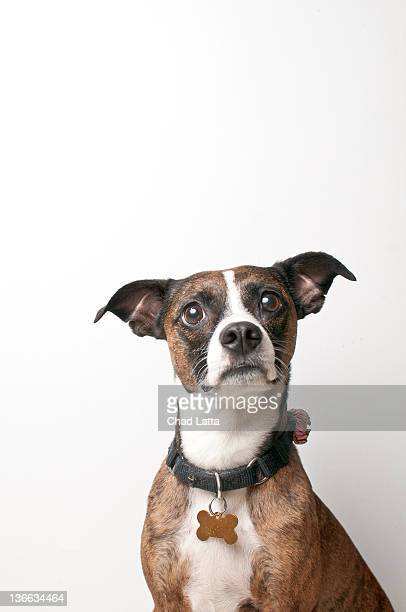 Brindle dog against white background