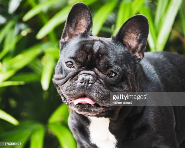 brindle french bulldog in a public park looking at camera - french bulldog stock pictures, royalty-free photos & images