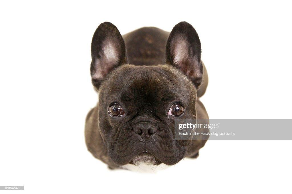 Brindle french bulldog : Stock Photo