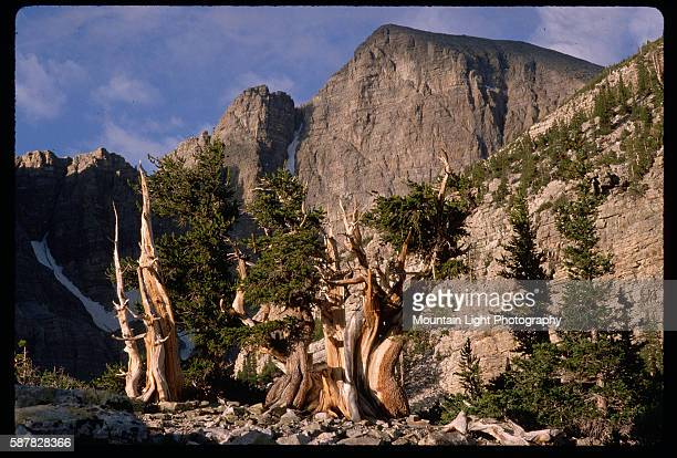 Bristlecone Pine and Wheeler Peak in Nevada