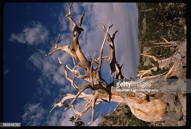 Bristlecone Pine in Nevada