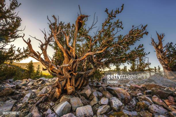 bristlecone pine - great basin stock pictures, royalty-free photos & images