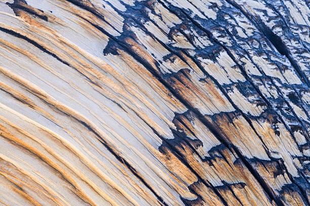 Bristlecone Pine Texture