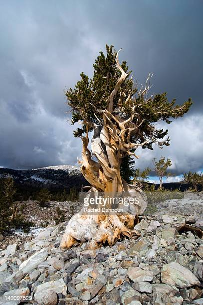 a bristlecone pine tree grows in the wheeler peak grove in great basin national park, nv. - great basin stock pictures, royalty-free photos & images