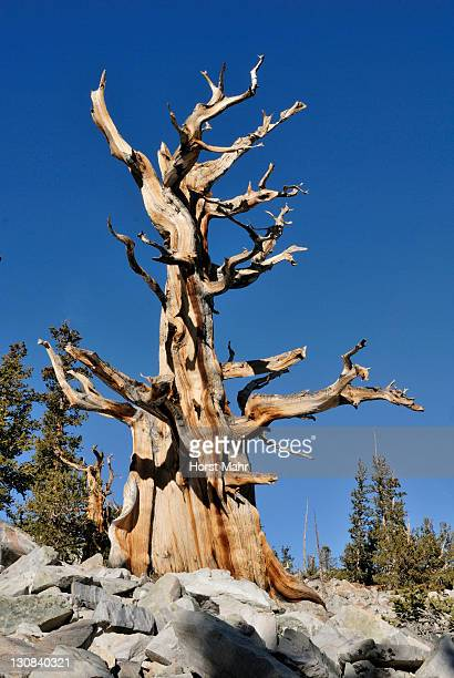 bristlecone pine trees (pinus aristata), between 2000 and 3000 years old, bristlecone pine grove, great basin national park, nevada, usa - 2000 2009 stock pictures, royalty-free photos & images