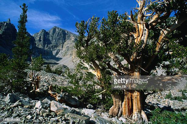 bristlecone pines are the longest living things on earth and some date as far back as 5000 years - wheeler peak - great basin national park, nevada - great basin stock pictures, royalty-free photos & images