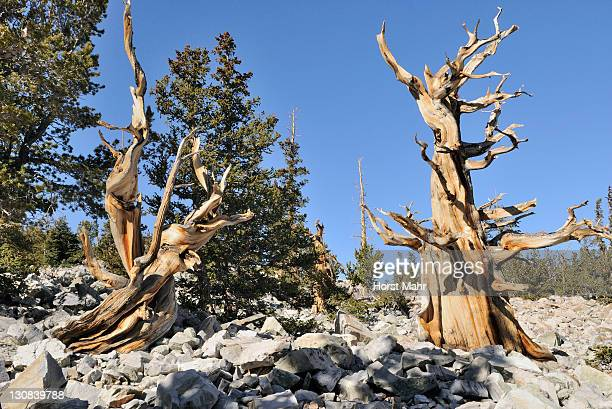 bristlecone pines (pinus aristata), between 2000 and 3000 years old, bristlecone pine grove, great basin national park, nevada, usa - 2000 2009 stock pictures, royalty-free photos & images
