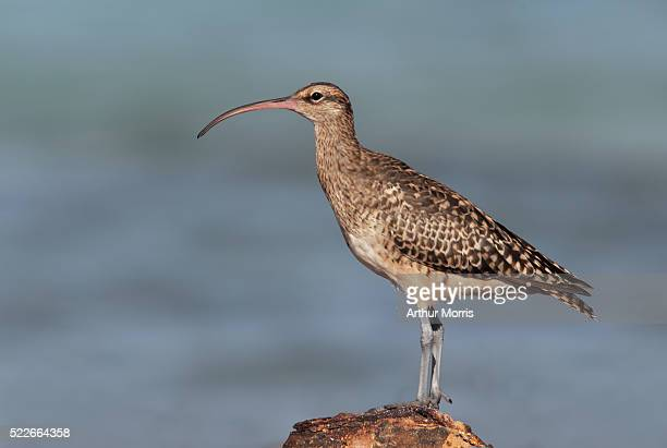 bristle-thighed curlew - midway atoll stock pictures, royalty-free photos & images