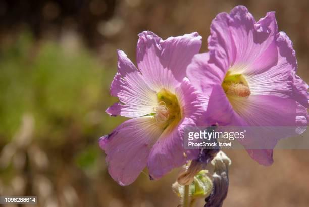 Bristly Hollyhock (Alcea setosa)