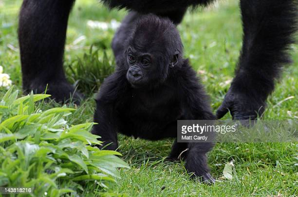 Bristol Zoo's baby gorilla Kukena takes some of his first steps as he ventures out of his enclosure with his mother Salome at Bristol Zoo's Gorilla...