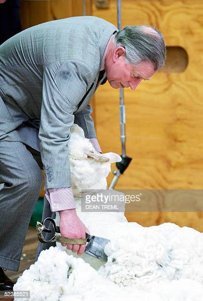 Britain's Prince Charles shears a Merino sheep with a pair of hand shears during a visit to Moutere Sheep Station in Alexandra near Dunedin 07 March...