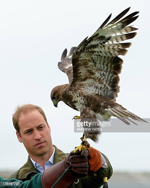 Britain's Prince William holds a Harris Hawk during a falconry display as he attends the Anglesey Show in North Wales on August 14 2013 The Anglesey...