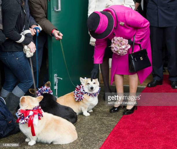Britain's Queen Elizabeth II bends down to stroke a corgi dog during a visit at Sherborne in Dorest southwest England on May 1 2012 during her...