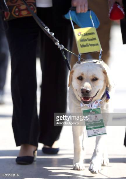 British Ambassador to Turkey Richard Moore's wife Maggie Moore walks with his dog 'star' which was permitted as diplomatic guest to attend a ceremony...