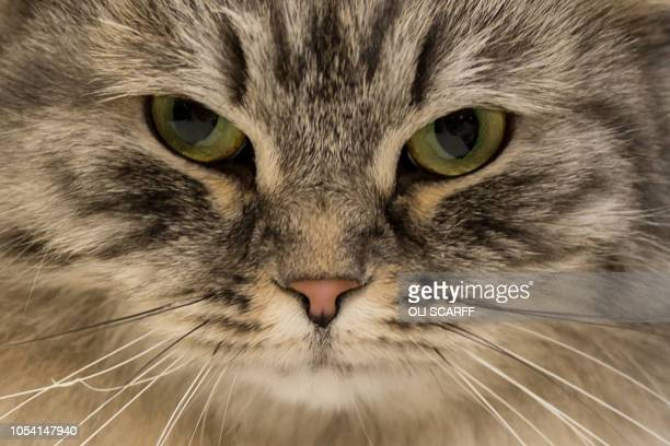A British Black Silver Tabby adult male cat is judged at the 42nd 'Supreme Cat Show' organised by the Governing Council of the Cat Fancy and held in...