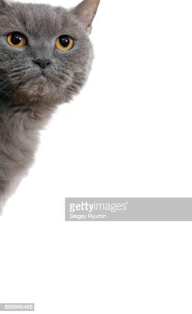 british blue cat peeks around the corner. - purebred cat stock pictures, royalty-free photos & images