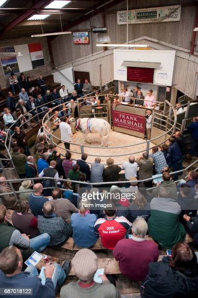 British Blue cattle being sold in auction mart ring. Chelford - Cheshire.