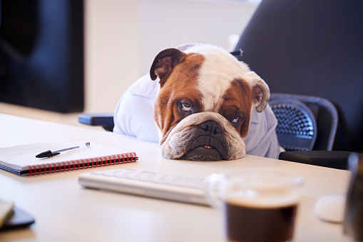British Bulldog Dressed As Businessman Looking Sad At Desk 962466980
