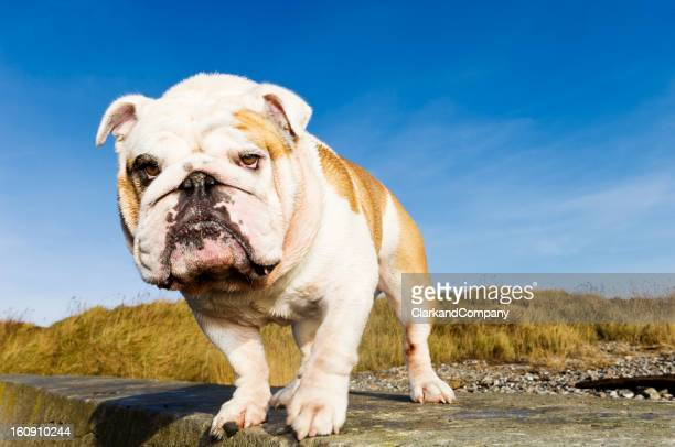 British bulldog posing coquettishly on a railing