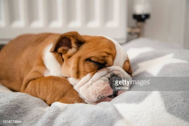 british bulldog sleeping - pet bed stock pictures, royalty-free photos & images