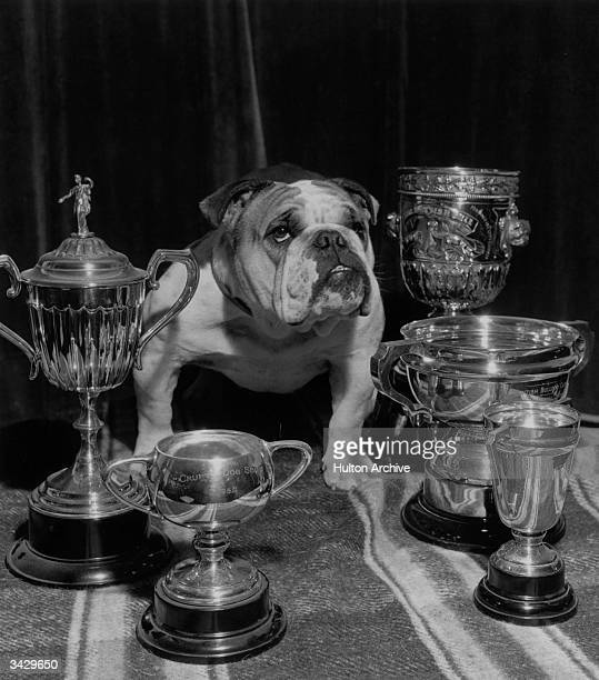 British bulldog with his cupssome rather dusty including one won at Crufts