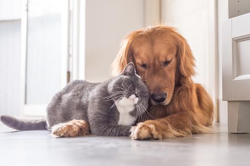 British cat and Golden Retriever 688414458
